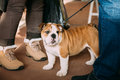 Young White English Bulldog Dog Puppy Royalty Free Stock Photo