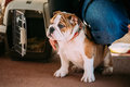 Young White English Bulldog Dog Puppy Sitting Royalty Free Stock Photo
