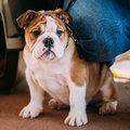 Young White English Bulldog Dog Puppy Sitting Royalty Free Stock Photo