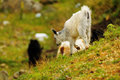 Young white goat on grass Royalty Free Stock Image