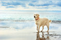 Young white golden retriever stand on the seafront Royalty Free Stock Photo