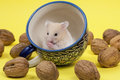 Young white hamster in tee cup portrait of approximation on yellow background Royalty Free Stock Image
