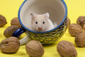 Young white hamster in tee cup and walnuts portrait of approximation on yellow background Stock Photos