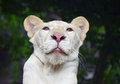 Young white lioness portrait in zoo under rain Royalty Free Stock Photo