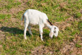 Young white nubian goat small horns eating grass Royalty Free Stock Images