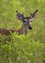 Young White Tailed Deer Buck Stock Image