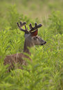 Young White Tailed Deer Buck Royalty Free Stock Photo