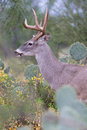 Young whitetail buck standing in cactus Royalty Free Stock Photo