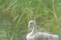 Young whooper swan cygnus cygnus swim among the reeds and looking for something to eat Stock Photos