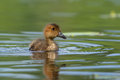 Young Wigeon swimming in the pond Stock Photo