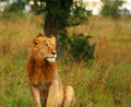 Young wild african lion Stock Photography
