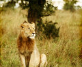 Young wild african lion Royalty Free Stock Photos