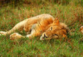 Young wild african lion playing Royalty Free Stock Photo