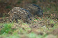 Young wild boar foraging Stock Photos