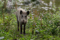 Young wild boar foraging in swampy forest area Royalty Free Stock Photography