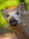 Young wild boar sus scrofa looking in the camera Royalty Free Stock Images