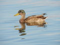 Young wild duck mallard or floating in water Stock Photos