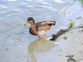 Young wild duck on the riverside sand mallard or standing Stock Photography