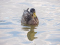 Young wild duck in the water mallard or floating pond Royalty Free Stock Photo