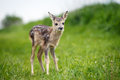Young wild roe deer in grass, Capreolus capreolus. New born roe Royalty Free Stock Photo