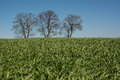Young winter wheat on the field. Royalty Free Stock Photo