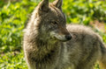 Young wolf (Canis lupus) close-up Royalty Free Stock Photo