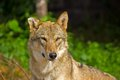 Young she wolf in moscow zoo Royalty Free Stock Image