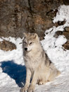 Young wolf pup calm attentive Royalty Free Stock Photo