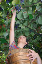 Young woman harvesting wine grapes Royalty Free Stock Photography