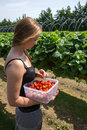 Young woman picking strawberries in the farm Royalty Free Stock Image