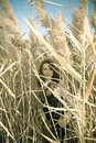 Young woman in a reeds Stock Photo