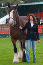 Young Woman showing a Shire Horse Royalty Free Stock Photo