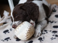 A young working type english springer spaniel puppy playing with a Royalty Free Stock Photo