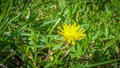 Young yellow dandelion up all alone on a big green lawn Stock Photography