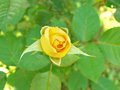 Young yellow rose Royalty Free Stock Photo