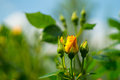 Young yellow rose with leaf Royalty Free Stock Photo