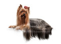Young yorkie puppy on white gradient background Royalty Free Stock Photography