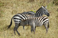 Young Zebra Feeding, Africa Stock Photography