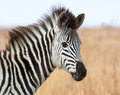 Young Zebra foal Stock Images