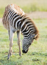 Young zebra foal at sunrise a grazing Royalty Free Stock Image