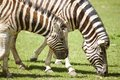Young zebras grazing on field Stock Photography