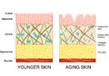 Younger skin and older skin aging elastin collagen a diagram of aging showing the decrease in collagen Royalty Free Stock Image