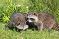 Youngs raccoons babys in grass during summer Stock Photography