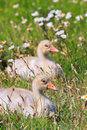 Youngsters of white-fronted goose Stock Image