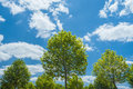 Youthful vigour young plane trees under bright blue sky with fluffy clouds Royalty Free Stock Photo