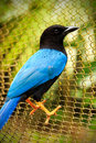 Yucatan Jay bird Royalty Free Stock Photo
