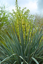 Yucca Royalty Free Stock Photo