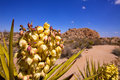 Yucca brevifolia flowers in joshua tree national park california usa Royalty Free Stock Images