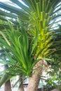 Yucca elephantipes Royalty Free Stock Photo