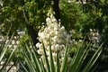 Yucca filamentosa blossom, Yucca blooms a beautiful white flower Royalty Free Stock Photo